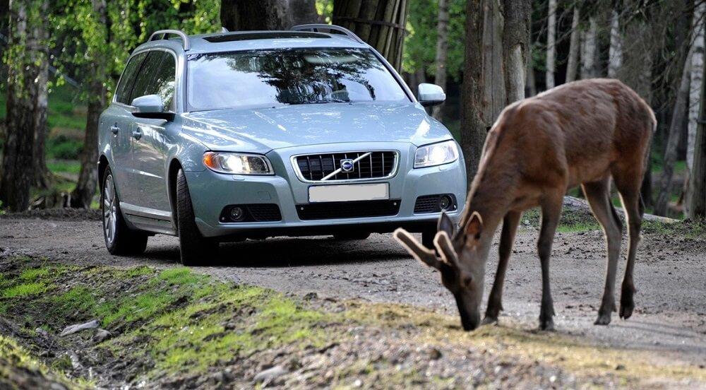 Появление лося на дороге