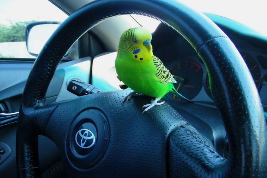 Попугай в машине